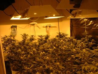 Marijuana031904_fig1.jpg