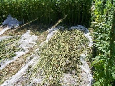 hemp-harvesting.jpg