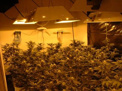 marijuana031904_fig1.jpeg