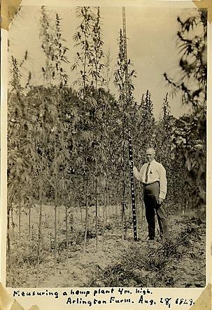 Dewey Measuring Hemp Plant 1929.jpg