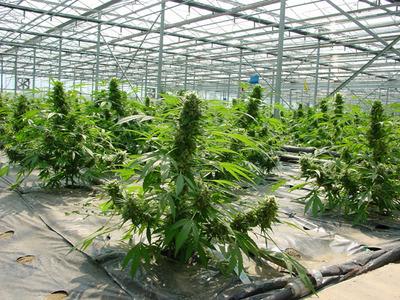 mass-producing-weed.jpeg