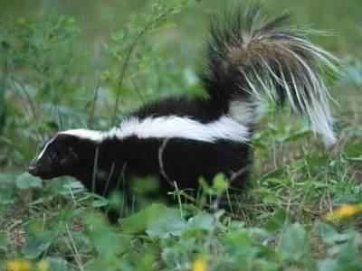 Skunk-in-Grass.jpeg