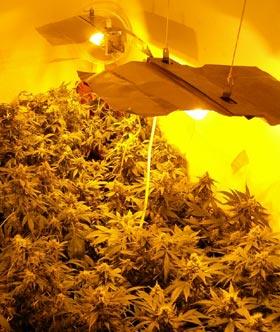 indoor-marijuana-growing.jpeg