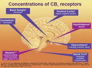 CB1-receptor-distribution-5.jpeg