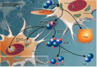 free radical damage to motor neurons.jpg