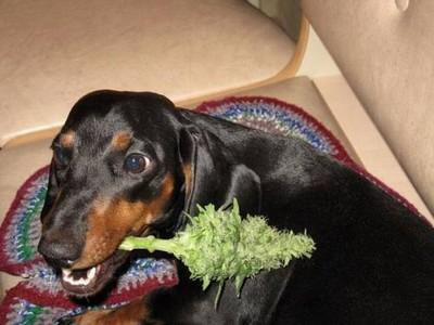 Dogs-and-marijuana-02.jpeg