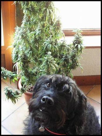 Dogs-and-marijuana-04.jpeg