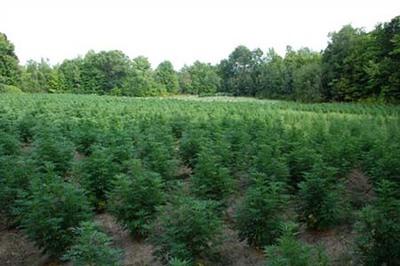 marijuana-pot-farm-1.jpeg