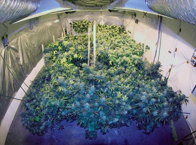 Growing Marijuana Get The Secrets Of The West Coast