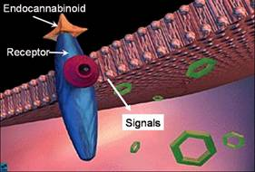 Endocannabinoid cell.jpg