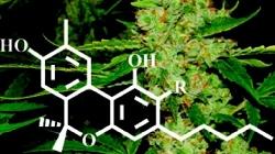 cannabinoid.jpeg