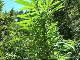 image_marijuana280.jpg