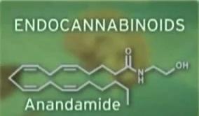 endocannabinoids-1.jpeg