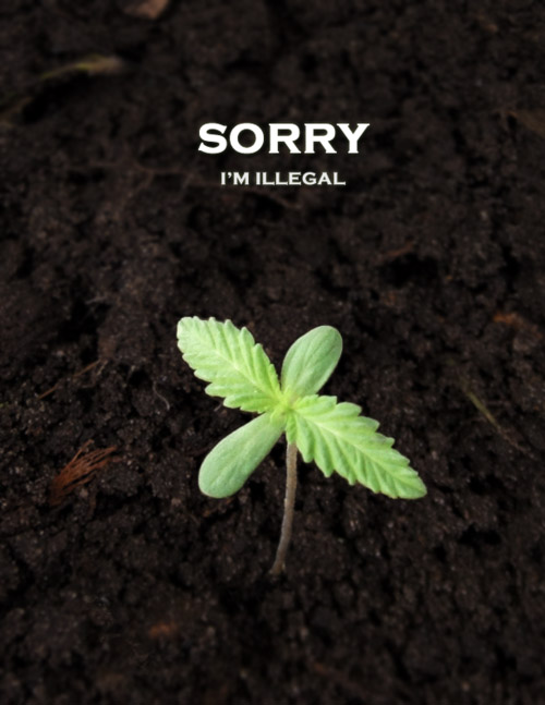 the effects of marijuana use on society as a whole Sociological effects of marijuana essays and research papers  the abuse of using marijuana has a negative impact on society as a whole.