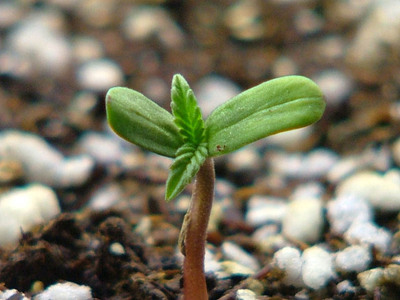 Thumbnail image for cannabisseedling.jpg