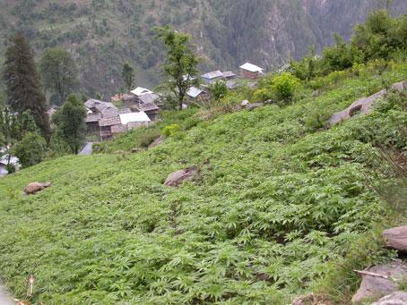 Nepal Makes Largest Marijuana Bust In History | Toke of ...