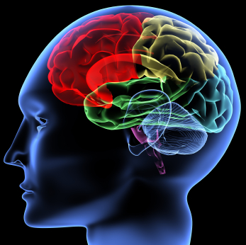 20100715041953_brain.jpeg