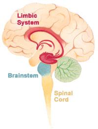 Brain_limbicsystem.jpg
