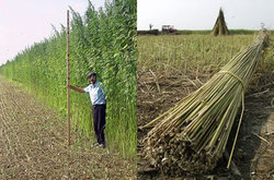 420magazinedotcom Hemp_Field.jpg