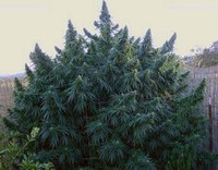 Thumbnail image for firstmarijuanagrowersdotcom weed bush.jpg