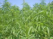 Thumbnail image for hemp5.jpeg