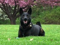 wikipedia dutch shepherd.jpg