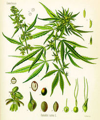 Cannabis-thumb-250x299.jpg