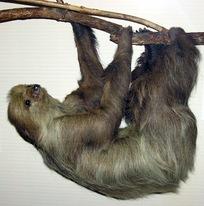 Linnaeuss.two-toed.sloth.arp.jpg