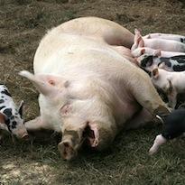 pig-www.flickr.com-photos-73645804-at-N00.jpg