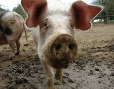 Thumbnail image for pig-snout-1.jpeg