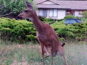 deer-pee-goodmamicommons.jpg