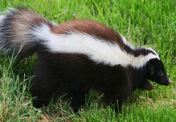Skunk-zorrilloflickr.jpg