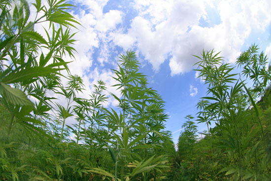 field-of-cannabis1.jpeg