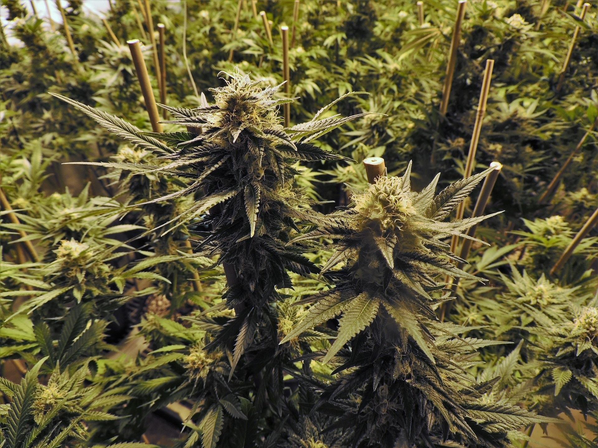 marijuana-growing-plant