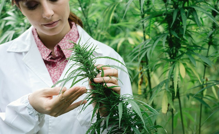 woman-marijuana-grower-marijuana-grow-istock