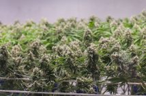 the_green_solution_marijuana-grow-collins2017